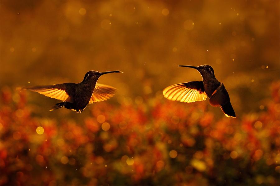 zimtroter Kolibri_900x600